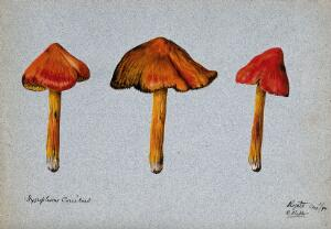 view A fungus (Hygrocybe conica): three fruiting bodies. Watercolour by R. Baker, 1894.
