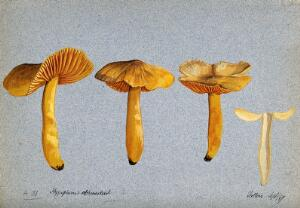 view A fungus (Hygrocybe obrussea): four fruiting bodies, one sectioned. Watercolour, 1897.