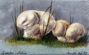 view Two puff balls (Lycoperdon species). Watercolour, 1883.