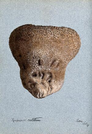 view A puff ball (Lycoperdon species). Watercolour, 1897.