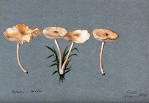view Fairy ring mushroom (Marasmius oreades): four fruiting bodies. Watercolour by R. Baker, 1896.