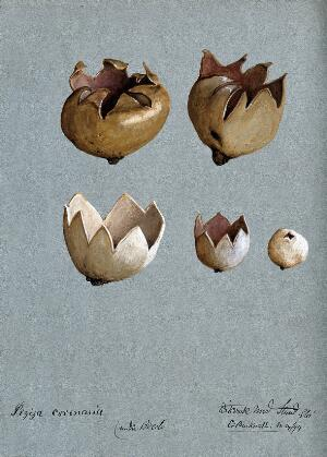 view A cup fungus (Peziza species): five fruiting bodies. Watercolour by C. Bucknall, 1894.