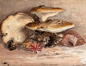 view A bracket fungus (Polyporus squamosus): group of fruiting bodies. Watercolour.