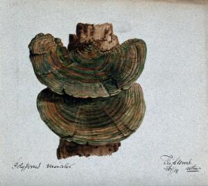 view A bracket fungus (Coriolus versicolor): fruiting bodies growing on wood. Watercolour by A. Wheeler, 1889.