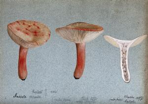 view A fungus (Russula queletii?): three fruiting bodies, one sectioned. Watercolour by E. Wheeler, 1893.