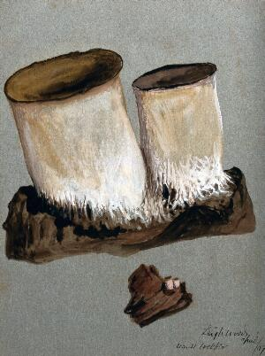 view An unidentified fungus: two fruiting bodies on wood, both life sized and enlarged. Watercolour by M. Webber, 1889.