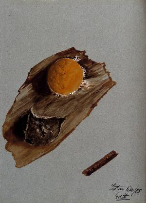 view An unidentified fungus: one fruiting body on wood, both life sized and enlarged. Watercolour by E. Wheeler, 1888.