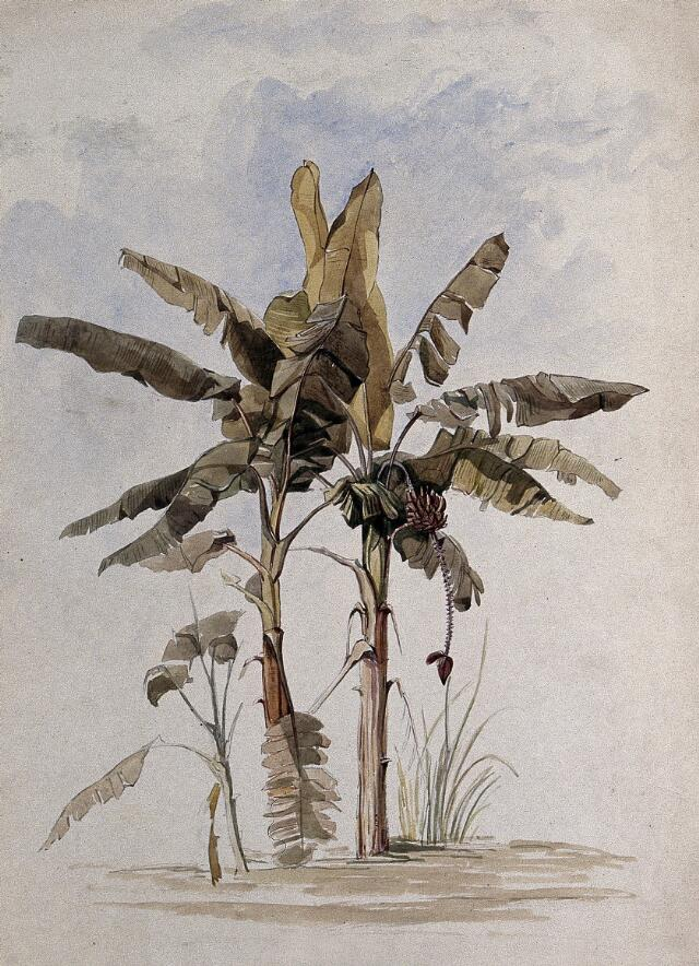 Collections search plants japan wellcome collection two banana plants musa species one with fruit watercolor 1846 after c goodall 1842 mightylinksfo