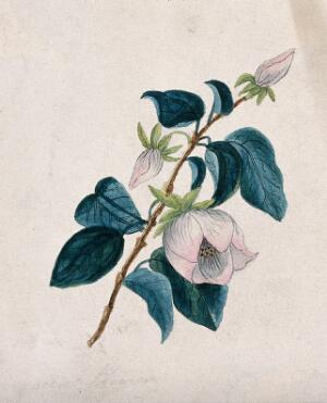 view Queens flower: flowering stem. Watercolour.