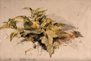 view Leaves of a wild plant growing in soil. Watercolour by E. Hargitt.