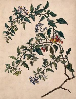 view Woody nightshade or bittersweet (Solanum dulcamara): flowering and fruiting stem. Watercolour.