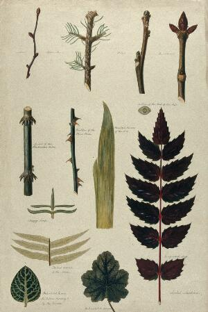 view Various leaf forms, leaf venation, bud arrangements and woody stems. Watercolour by I. Sawkins.