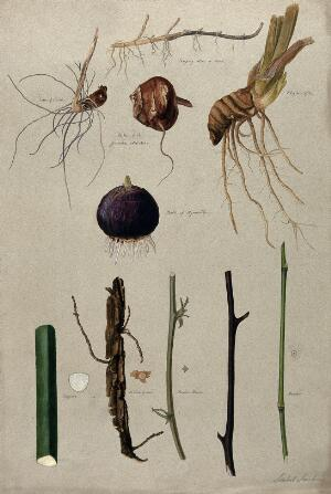view Various stem forms, including bulbs and roots. Watercolour by I. Sawkins.