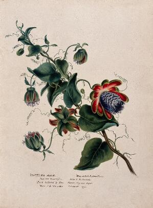 view Passion flower (Passiflora alata): flowering stem. Watercolour, ca. 1850 (?).