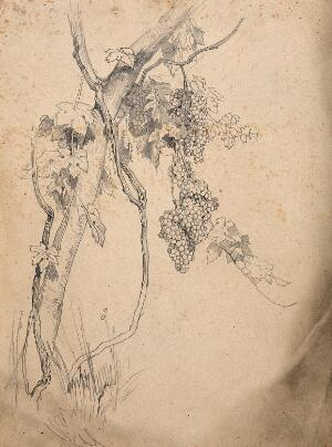 view Grape vine with fruit and leaves. Pencil drawing.