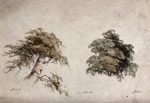 view Two trees, beech (Fagus) and elm (Ulmus), with details of form. Watercolour by P. Lewis.
