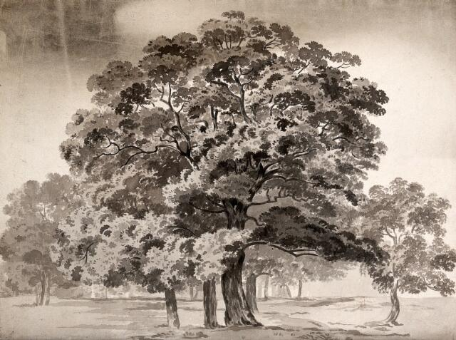 A group of trees. Wash drawing.