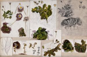 view Daises (Bellis species) and eyebrights (Euphrasia species): various illustrations of leaves, stems and flowers. Watercolour, pencil and pen drawings.