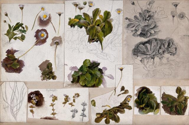 Daises (Bellis species) and eyebrights (Euphrasia species): various illustrations of leaves, stems and flowers. Watercolour, pencil and pen drawings.