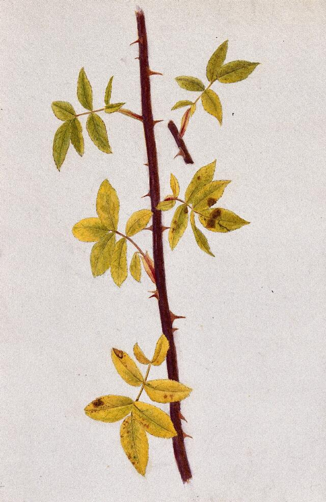 Rose stem with autumn leaves. Watercolour drawing.