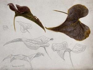 view Black bryony (Tamus communis): leaves. Watercolour and pen drawings.