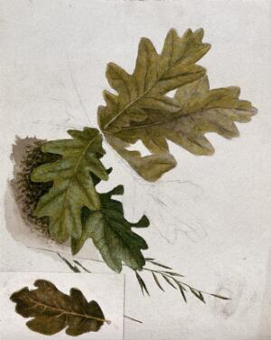 view Leaves of oak (Quercus species). Watercolour drawings.