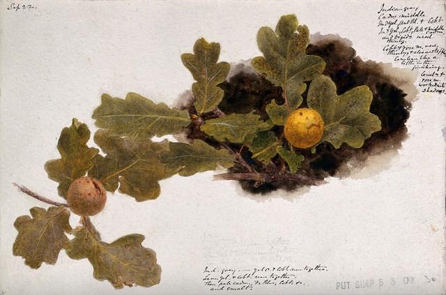 Oak leaves with two oak apples. Watercolour drawing.
