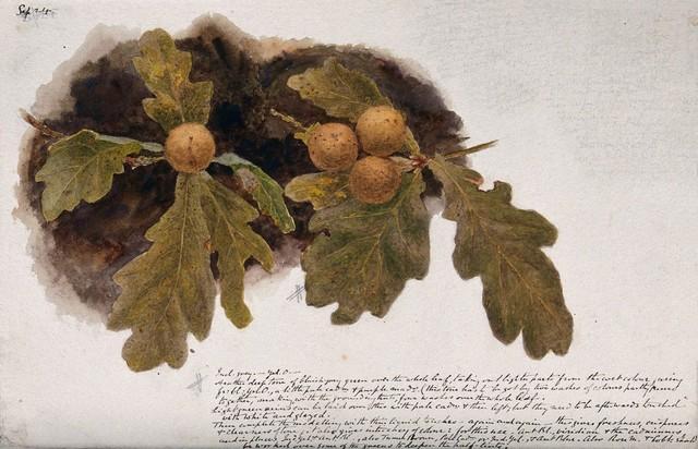 Oak leaves with four oak apples. Watercolour drawing.