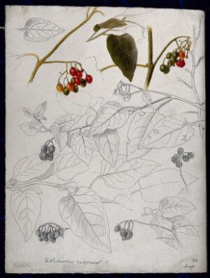 view Black nightshade (Solanum nigrum): leaves and fruits. Pen drawing, partially coloured.