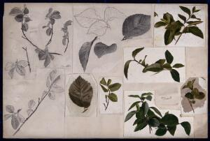 view Leaves and twigs of elm (Ulmus) and privet (Ligustrum). Watercolour and pencil drawings.