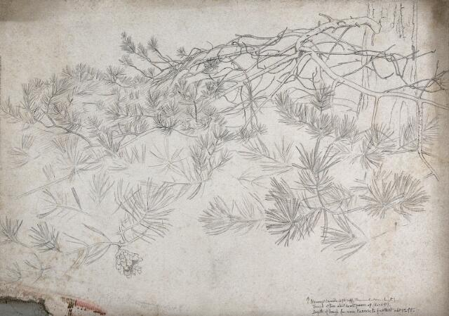 Branches of scots pine (Pinus sylvestris). Pen drawing.