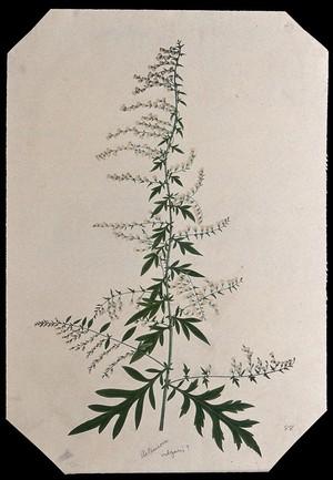view Mugwort (Artemisia vulgaris): flowering stem. Watercolour.