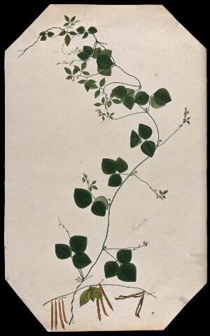view A plant (Trigonella species): flowering and fruiting stems with seed. Watercolour.