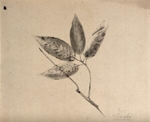 view A Japanese plant (kaoki), possibly pear: branch with leaves. Pencil drawing by S. Kawano.