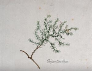 view A Japanese plant (biyakudan), possibly a moss. Watercolour by S. Kawano.