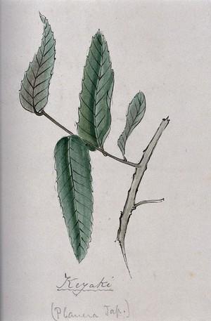 view Keyaki (Zelkova serrata): branch with leaves. Coloured pen drawing by S. Kawano.