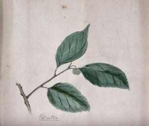 view A Japanese plant (muku): branch with leaves. Coloured pen drawing by S. Kawano.