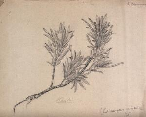 view White pine (Podocarpus chinensis): branch with leaves. Pencil drawing by S. Kawano.