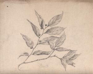 view A Japanese plant (yenoki): branch with leaves and fruit. Pencil drawing by S. Kawano.