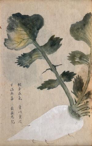 view Parsnip (Pastinaca species): root and leaves. Watercolour.