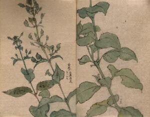 view A fruiting plant of the Scrophulariaceae family: stem in two sections. Watercolour.