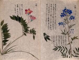 view Two plants: flowering stems. Watercolour.