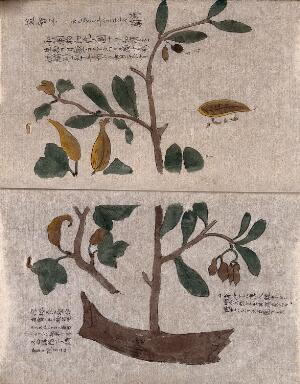 view A fruiting tree branch with a small section enlarged and a fruit with some seeds extracted. Watercolour.