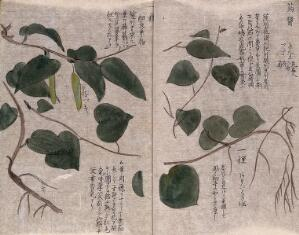 view A woody liane of the Asclepiadaceae family, with two pods. Watercolour.