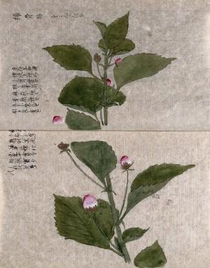 view A flowering plant stem. Watercolour.