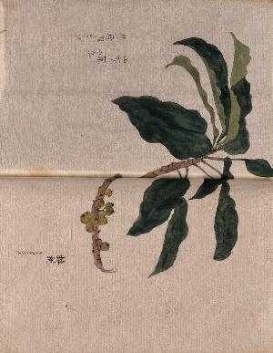 view A fruiting branch, possibly of a loquat (Eriobotyra species). Watercolour.