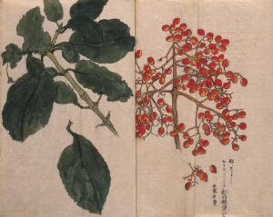 view A fruiting plant with red berries, possibly of the Caprifoliaceae family. Watercolour.