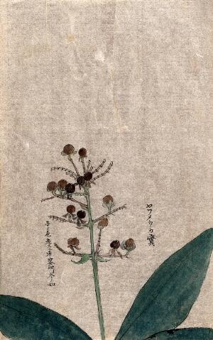 PLANTS, EDIBLE - INDIA | Catalogue search | Wellcome Collection