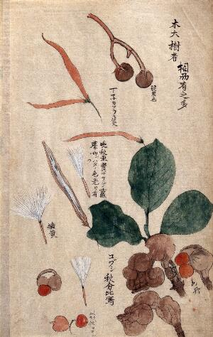 view Fruits, seeds and leaves of a plant possibly in the Apocynaceae family. Watercolour.