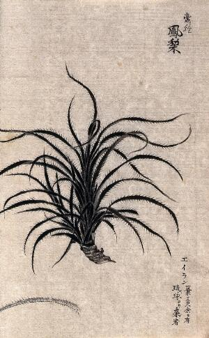 view A leafy plant, possibly of the Liliaceae family. Watercolour.